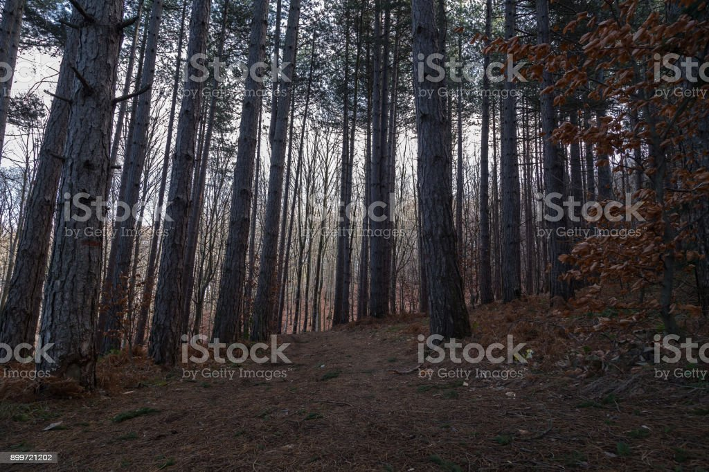 Mystery pine forest stock photo