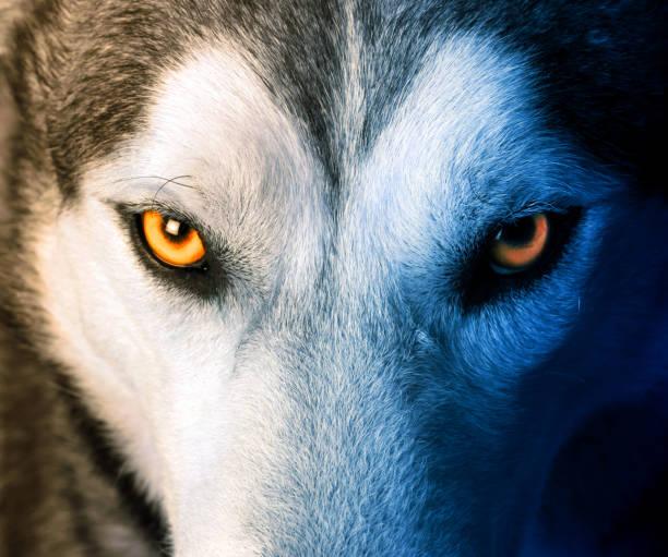 mystic charm av varg - varg bildbanksfoton och bilder