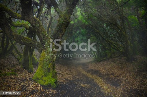 Mystic mood in the rainforest. Laurisilva forest on a Canary Island.  Laurel forests are evergreen moist forests of the subtropical climatic zone.