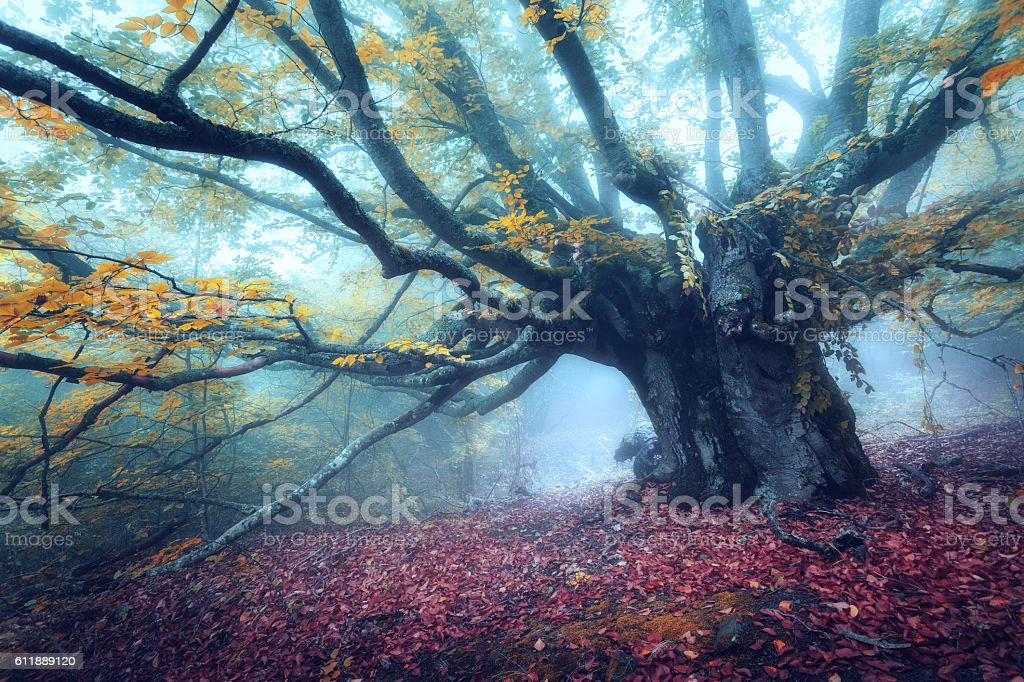 Mystical autumn forest in fog in the morning. Old Tree - foto stock