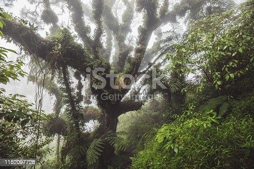 istock Mystical forest. Huge old tree covered with fern and plant parasite in indonesian rainforest 1152097728
