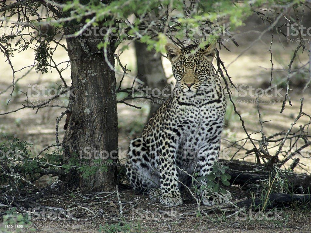 Mystical Leopard stock photo