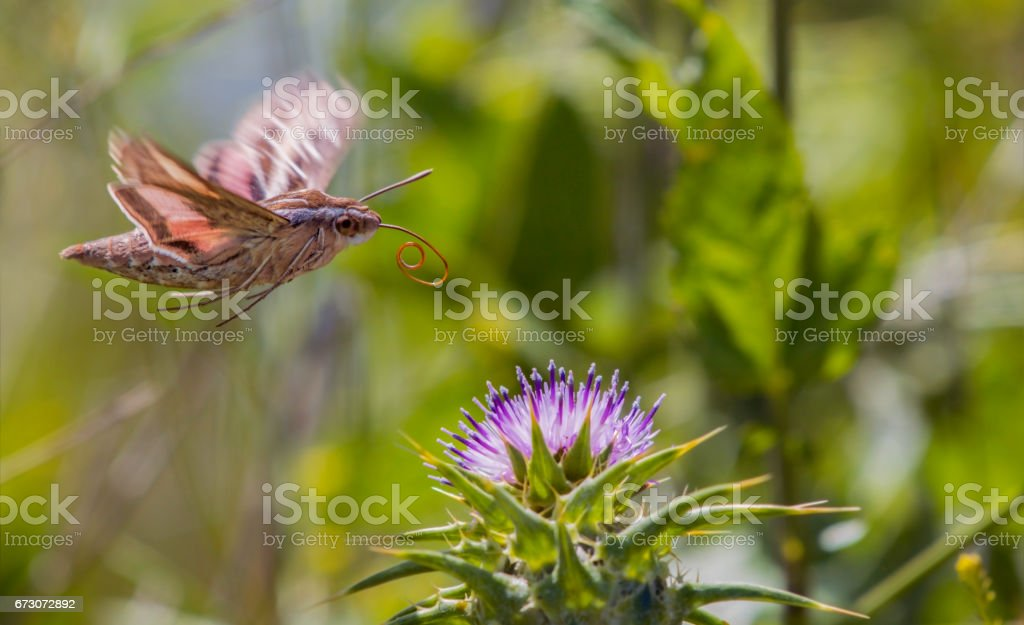Mythical White-Lined Sphinx Hummingbird Moth stock photo