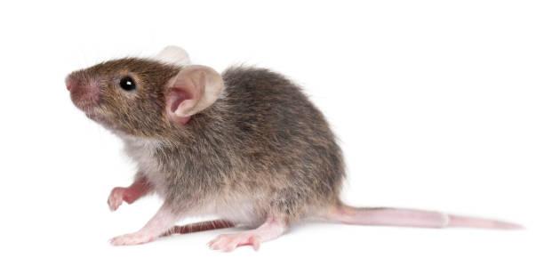 Souris Animal Banque d'images et photos libres de droit - iStock
