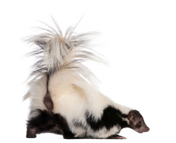 """""""n - skunk stock photos and pictures"""