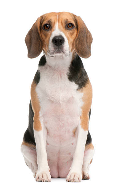 """""""n Beagle, 2 years old, sitting in front of white background beagle stock pictures, royalty-free photos & images"""