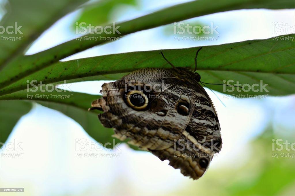 Na folhagem uma borboleta Caligo stock photo