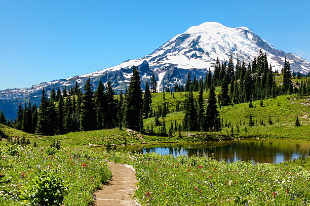 Naches Peak trail, flowering alpine meadows & Mount Rainier, WA The Naches Peak Loop Trail in Washington State leads hikers through alpine meadows carpeted with multi-coloured alpine flowers, beside lakes and to views of the summit of Mount Rainier. mt rainier stock pictures, royalty-free photos & images