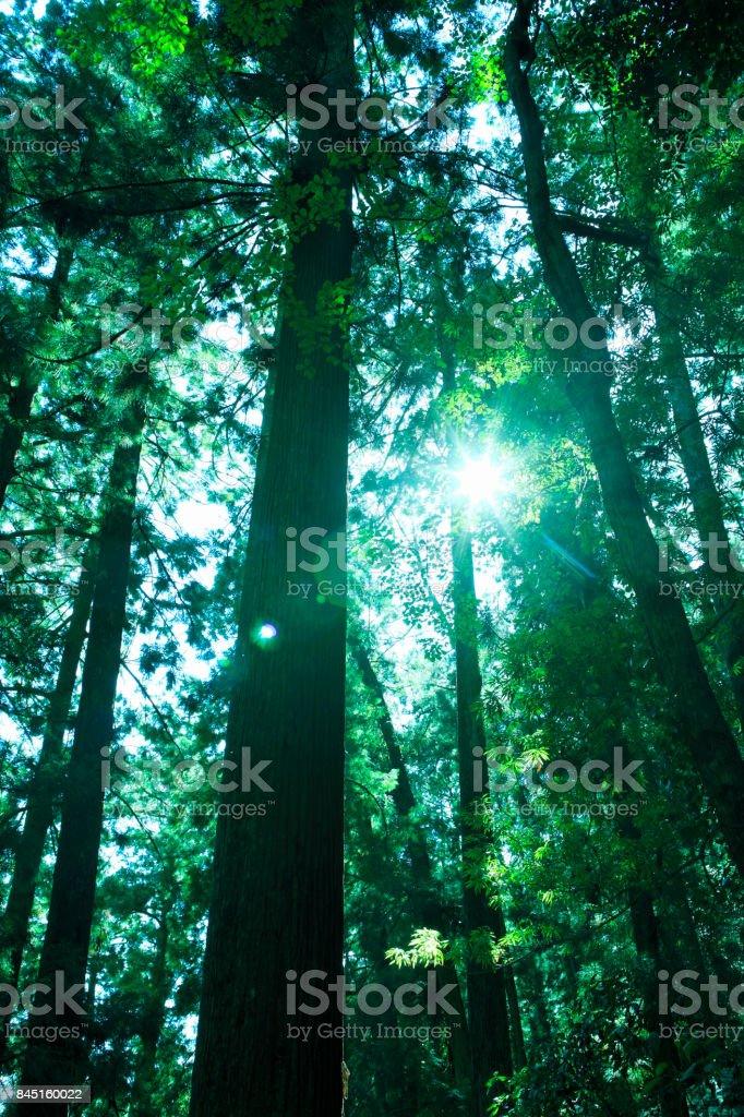 Nachi cedar trees
