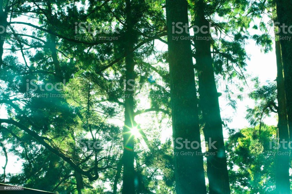 Nachi waterfall cedar trees