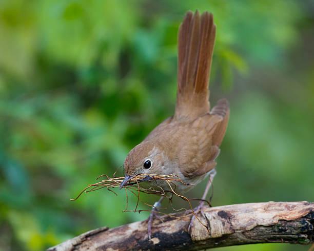 Nachtigall, Luscinia megarhynchos; Nightingale - Photo