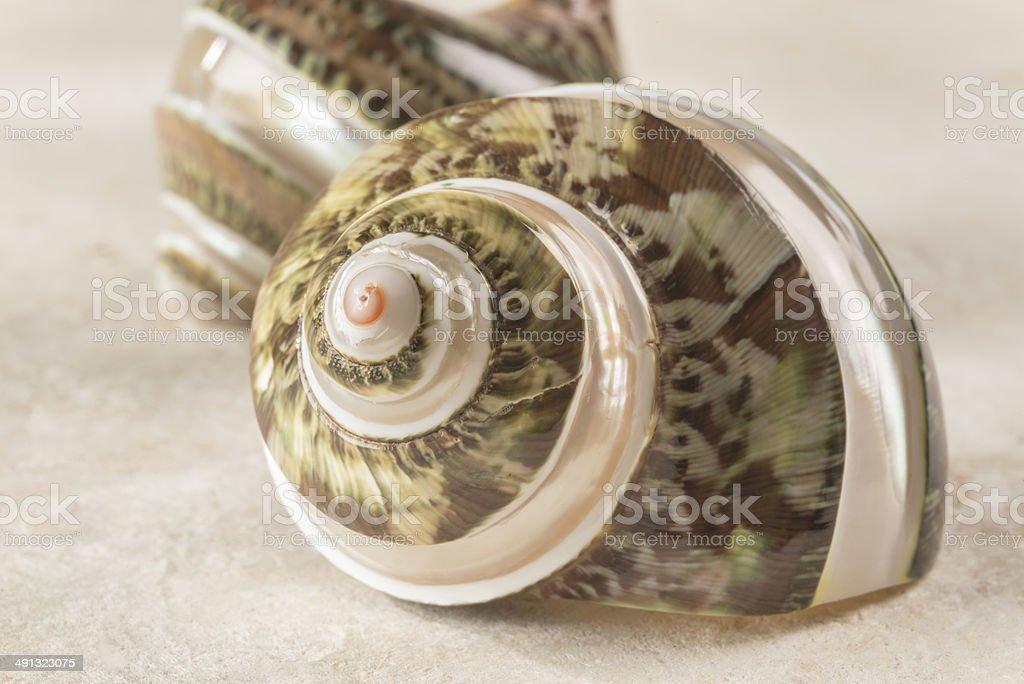 Nacreous green conch shell royalty-free stock photo