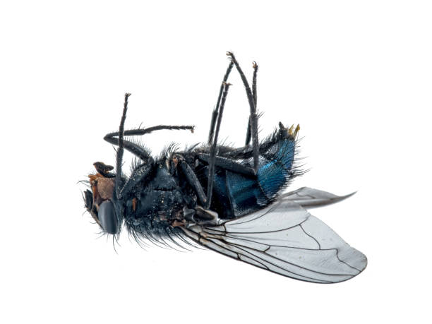 Nahaufnahme einer toten Fliege die auf dem Rücken liegt. Nahaufnahme einer toten Fliege die auf dem Rücken liegt. bristle animal part stock pictures, royalty-free photos & images