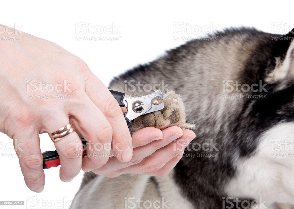 nail trimming in dogs stock photo