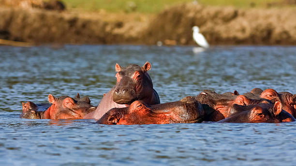 Naivasha hippos and Heron. Alpha male. Kenya, Africa stock photo