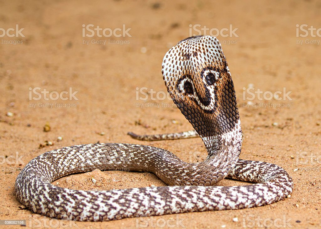 Naja naja Cobra stock photo