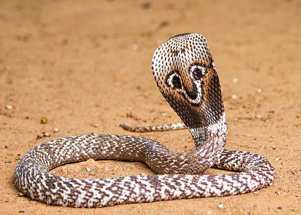 naja naja cobra - snake strike stock photos and pictures