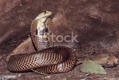 Naja Naja. Common/Spectacled Cobra displaying the classic 'snake charmer' defensive pose. Venomous. Nasrapur, Maharashtra, India.