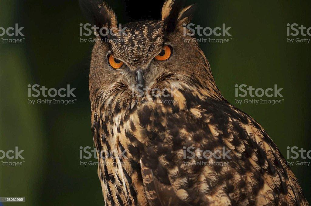 Najila,A Eurasian eagle owl stock photo