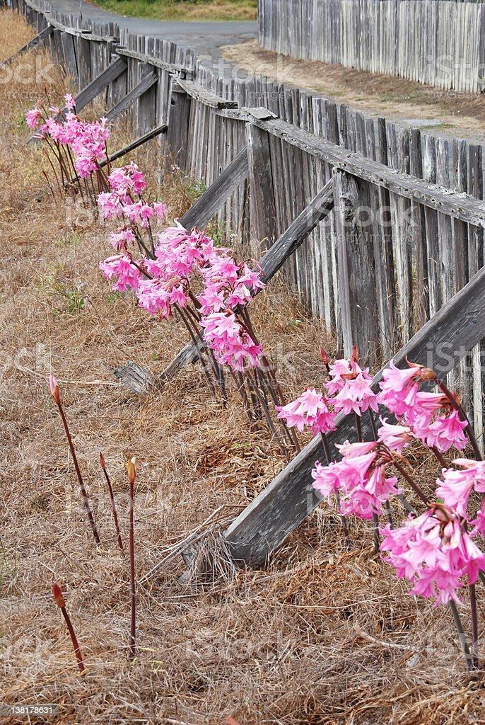 Naked Lady Bulb Flowers - Stock image .