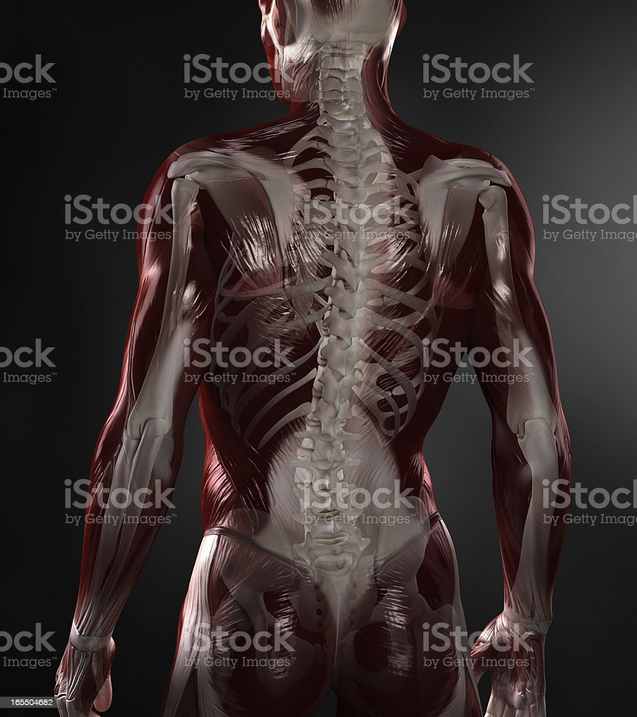 Naked man with visible muscles and skeleton stock photo