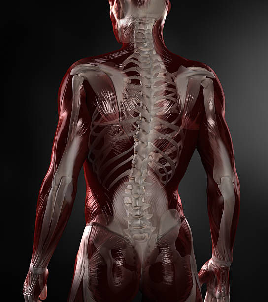 naked man with visible muscles and skeleton - janulla stock pictures, royalty-free photos & images