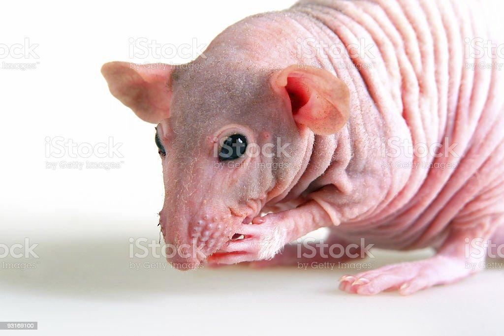 Naked rat royalty-free stock photo