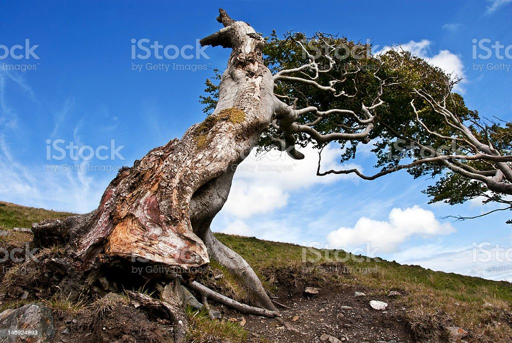 Naked Roots on a Very Old tree Against Blue Sky royalty-free stock photo