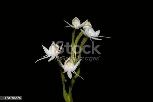 Name : Chikarkanda  Scientific Name: Habenaria grandifloriformis Location: Sinhagad, Pune Description: One of the common ground orchid on hill slopes of Sahyadri region during monsoon season.