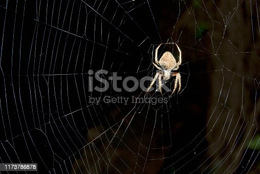Name : Orb Weaver Scientific Name:  Neoscona spp. Location: Mulashi, Pune. Descrption: One of the large orb weaving spiders, use to build a web with concentric rings and most of the times active during night.