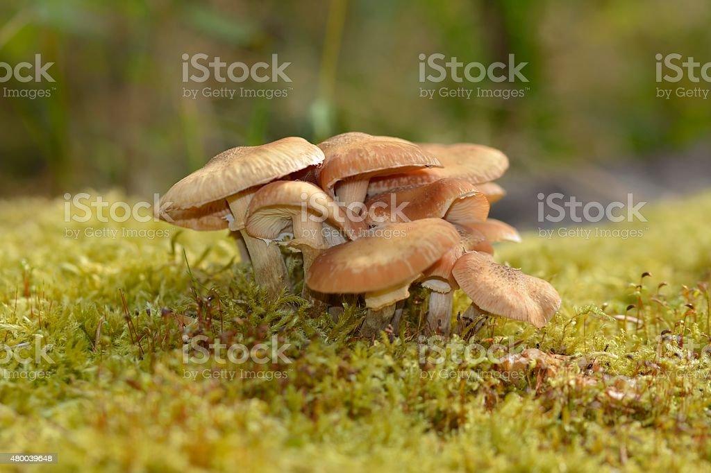 Nameko Mushrooms stock photo