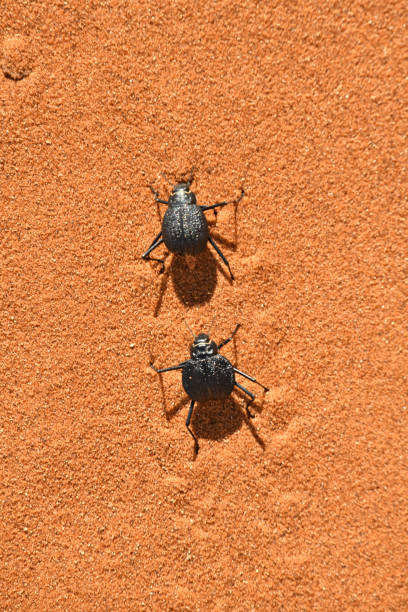 Namib desert beetle beetles chase each other in the Namib desert, Namibia namib desert stock pictures, royalty-free photos & images