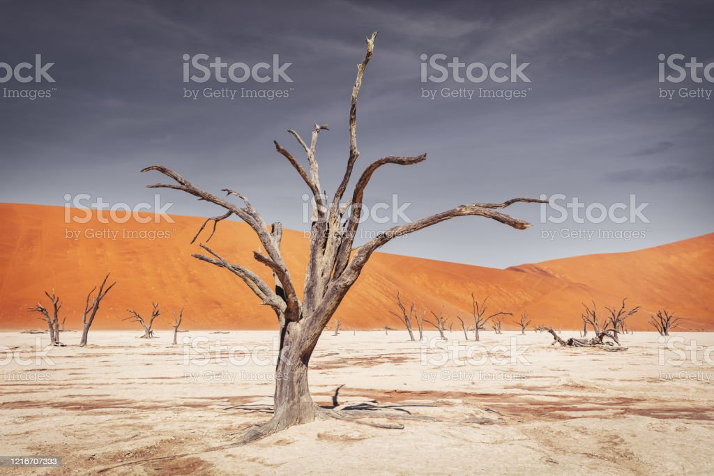 Namib Desert Trees Dead Vlei Sossusvlei Namibia - Lizenzfrei Abgestorbene Pflanze Stock-Foto
