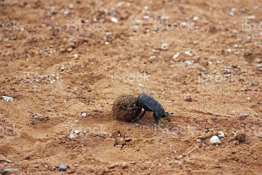Namibia: Dung Beetle at the Waterberg Plateau stock photo