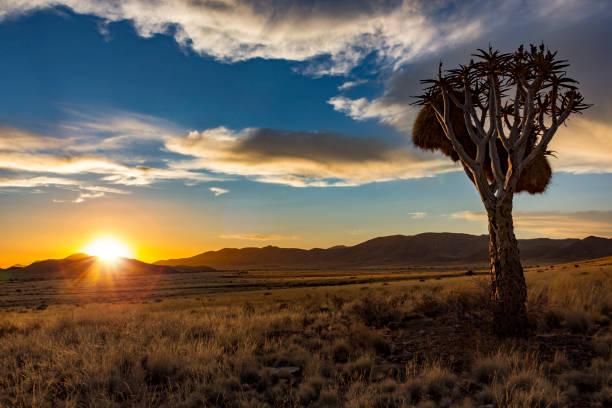 namibia sonnenuntergang köcherbaum - afrikanische steppe dürre stock-fotos und bilder