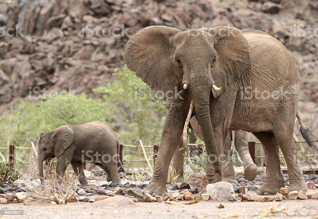 Namibian Elephants royalty-free stock photo