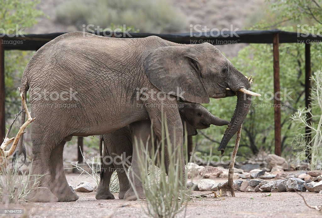 Namibian Elephants royalty-free stock photo