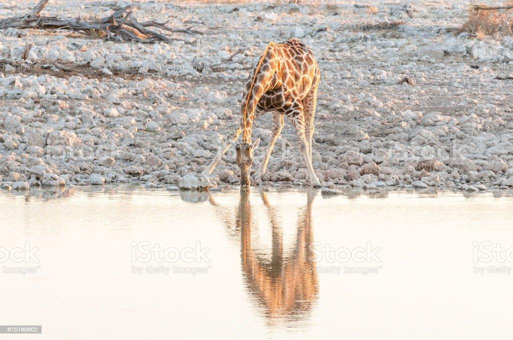 Fotografía de Namibia Jirafa Tomando Agua A Un Pozo De Agua Al ...