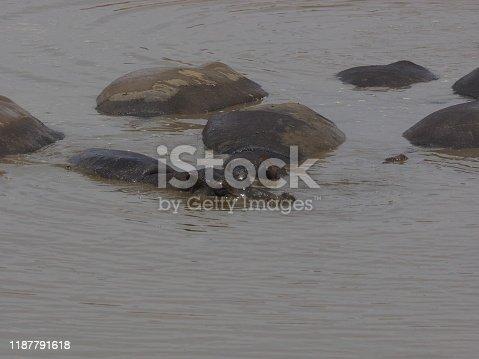 Namibian Hippopotamus