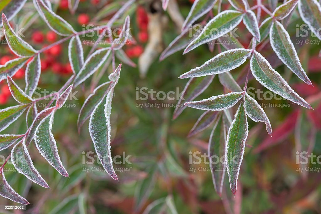 nandina domestica iced leaves stock photo