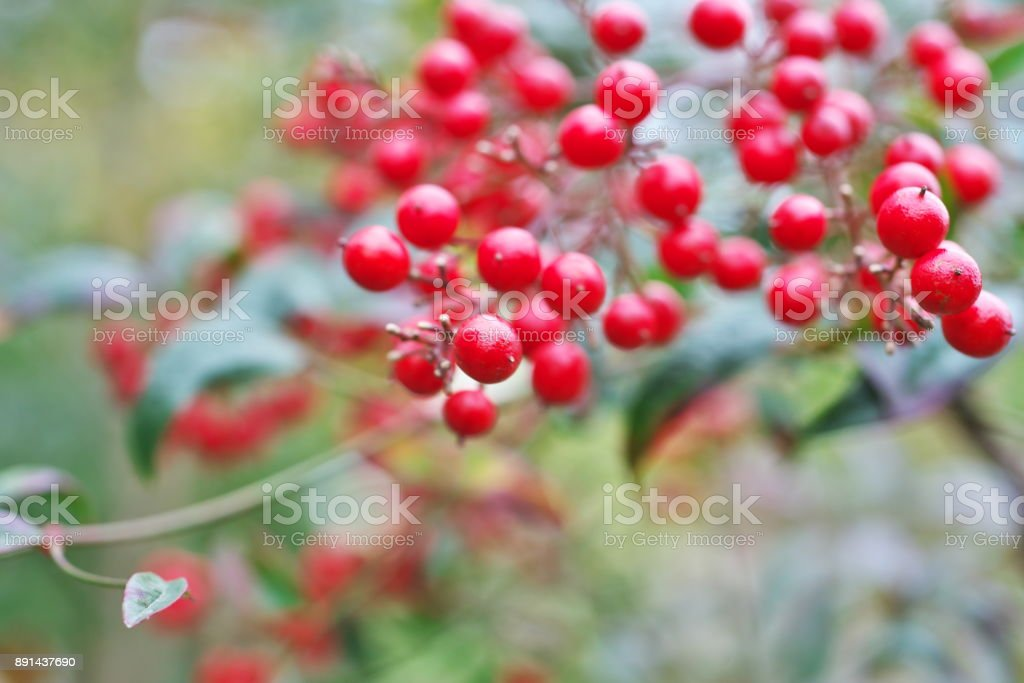 Nandina domestica stock photo