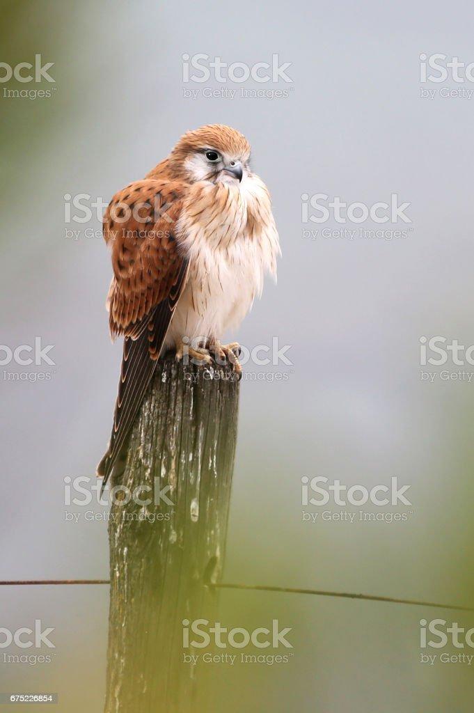 Nankeen Kestrel sitting on Fence Post royalty-free stock photo