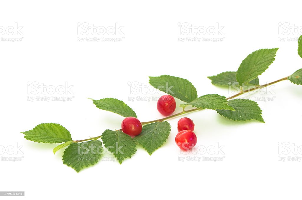 Nanking cherry stock photo