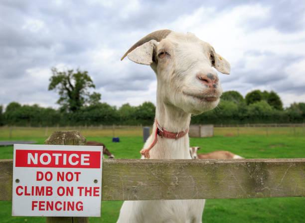 Ein Nannny Ziege stand neben einem kein Klettern die Zaun-Zeichen – Foto