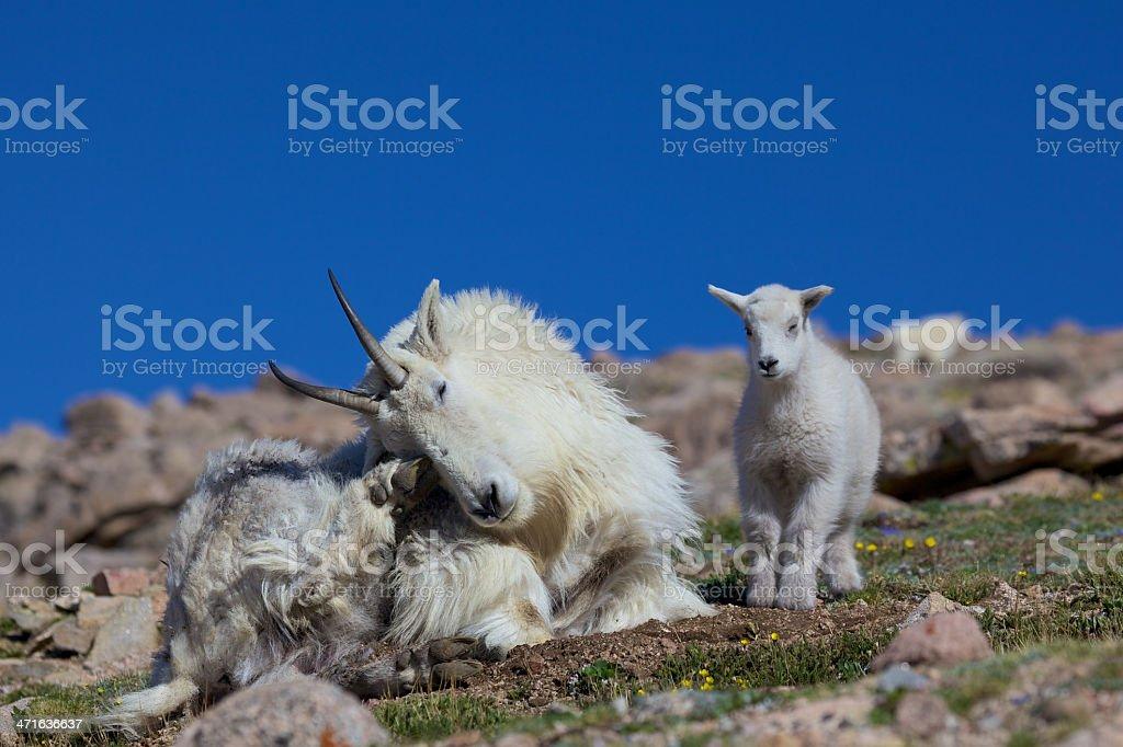 Nanny and Kid Mountain Goats royalty-free stock photo