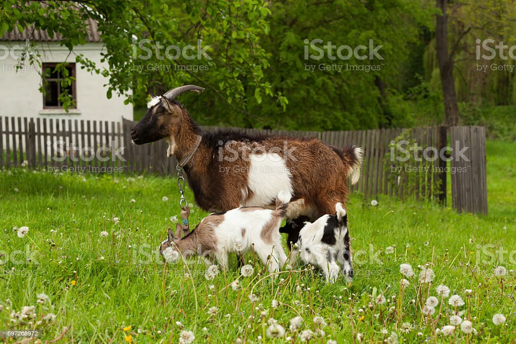 Nanny goat royalty-free stock photo