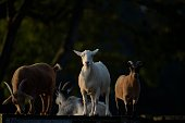 Nanny Goat with Attitude