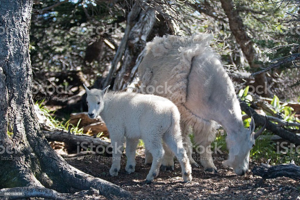 Nanny Mother Goat with baby in Hurricane Ridge thicket stock photo