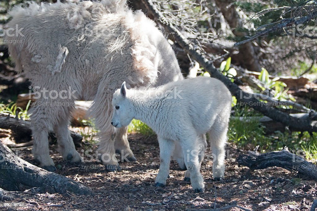 Nanny Mother Goats with baby - Hurricane Hill thicket stock photo