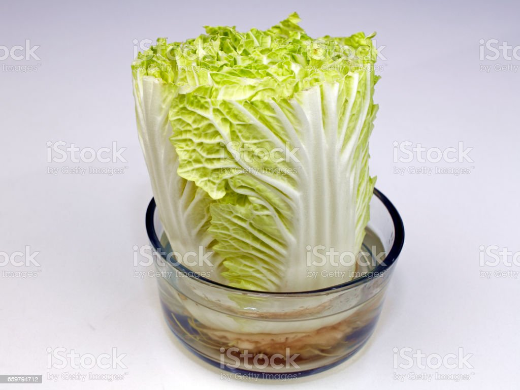 Napa Cabbage Growing in a Bowl of Water stock photo
